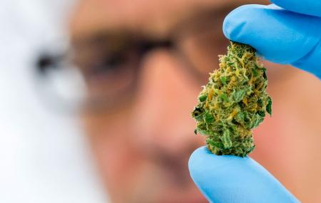 – Cannabis er ikke medisinsk risikabelt